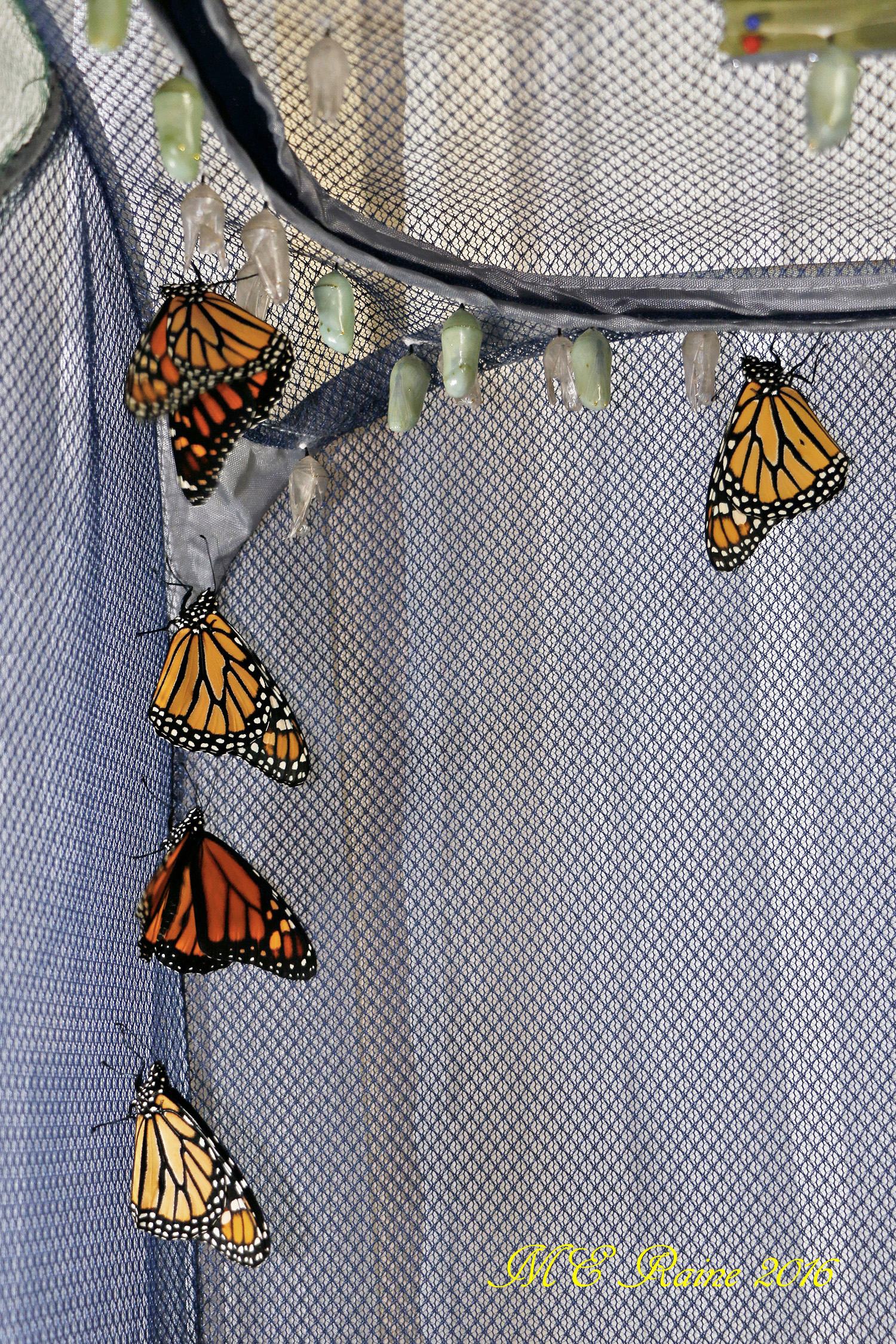 monarch-butterfly-of-maturity-in-safe-house-1-nos-9-12-n-13th-091916-10am-ok-wm