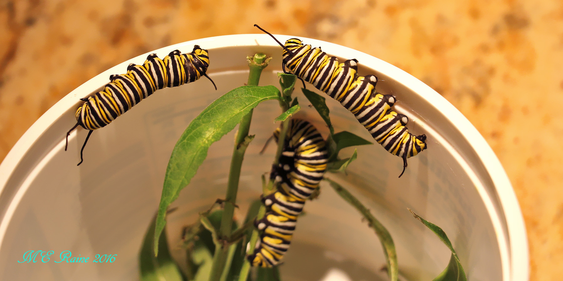 monarch-caterpillars-prpep-nos-1-2-n-3-fr-gsg-090716-6pm-ok-wm-2