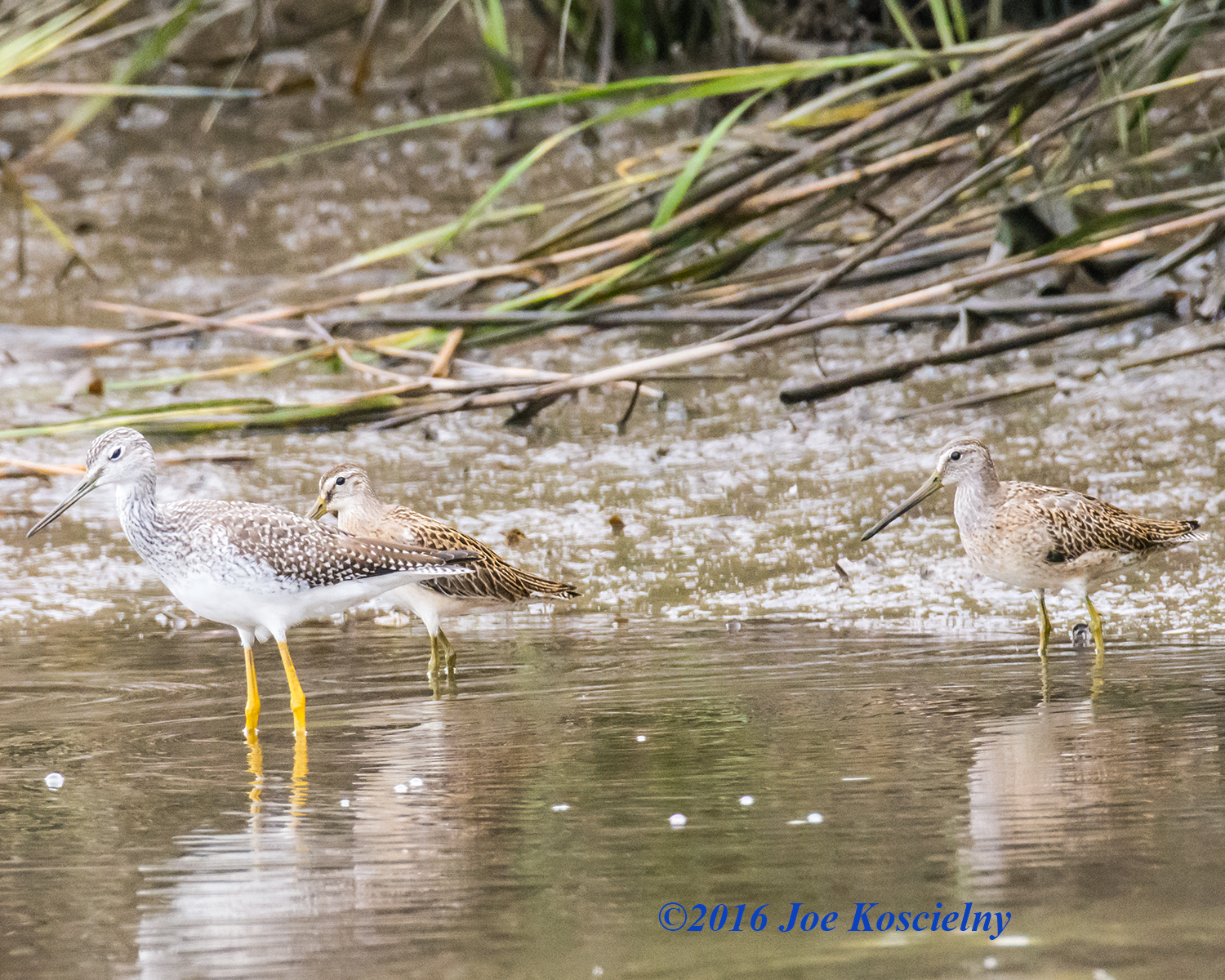 Greater Yellowlegs with Dowitchers