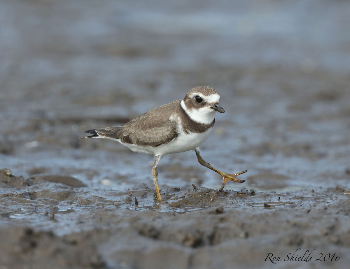 semipalmated-plover-shields-reduced-wma-9-12-16