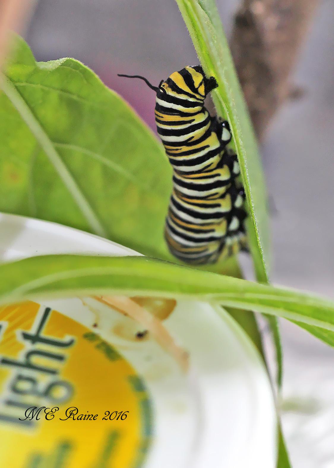 caterpillars-2
