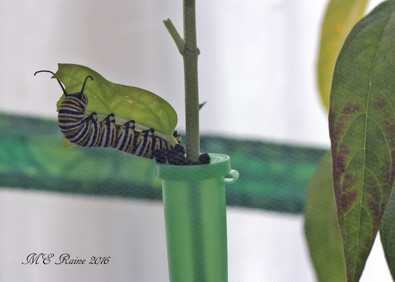 caterpillars3