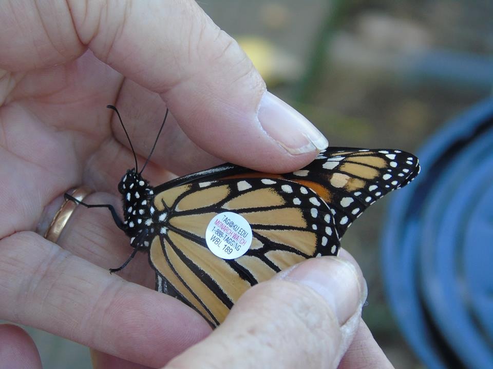 tagged-monarch-marie