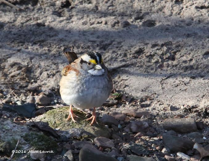 White-throated sparrow Credit: Alice Leurck