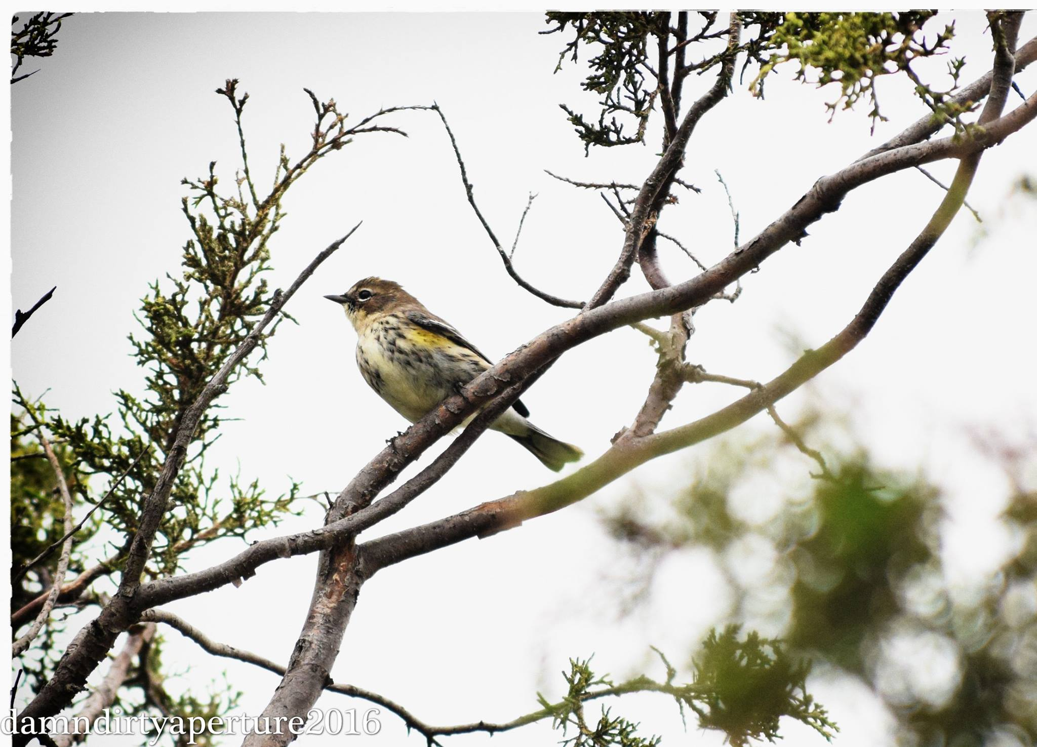 ceragno-yellow-rumped-warbler-10-16