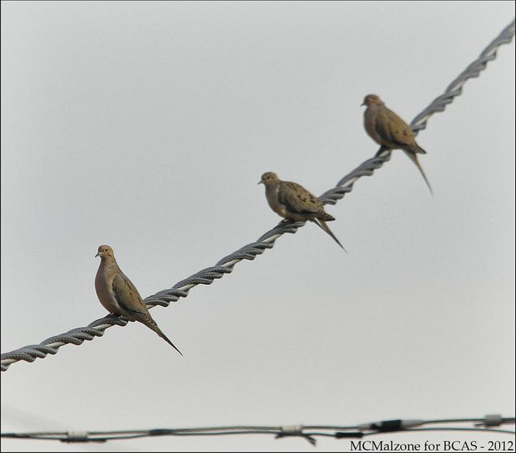 doves3_0092sml
