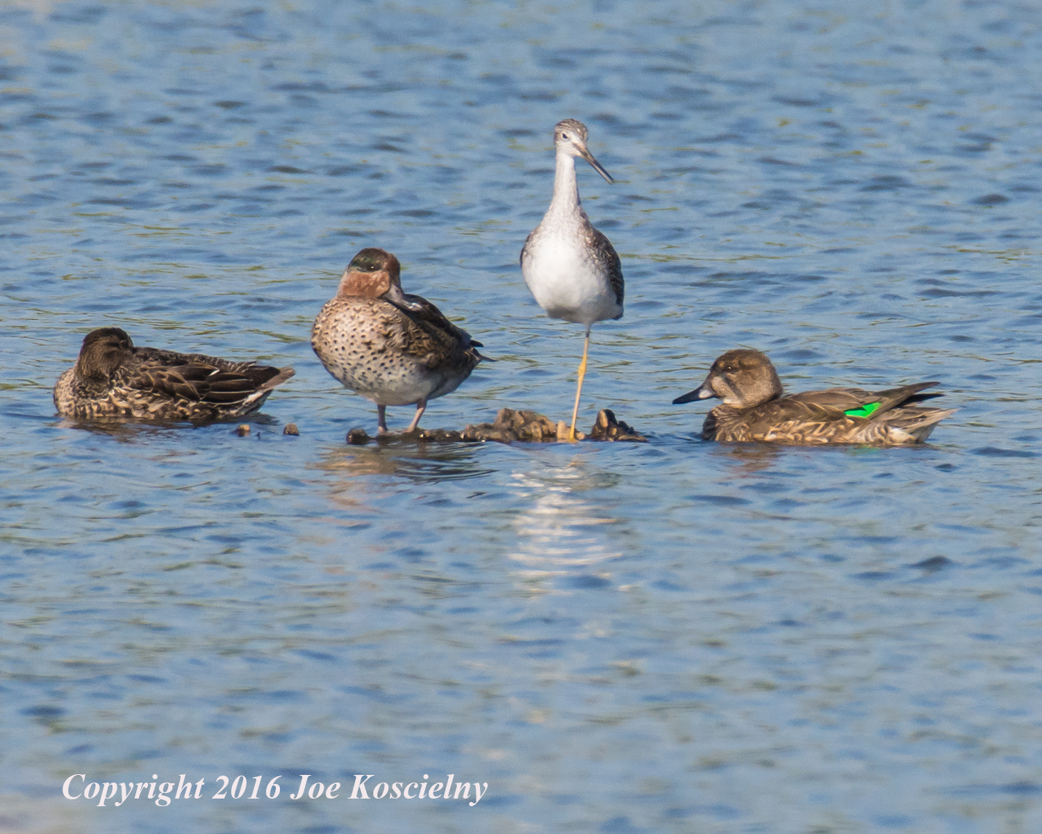 Greater Yellowlegs and Green-Winged Teals
