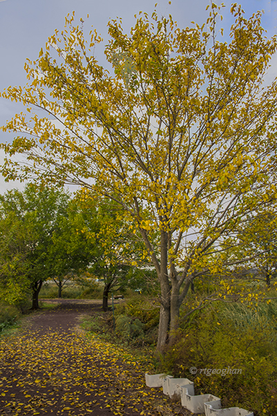 A vertical format view of a path at Mll Creek Marsh in the NJ Meadowlands with golden foliage on the featured tree and covering the path.