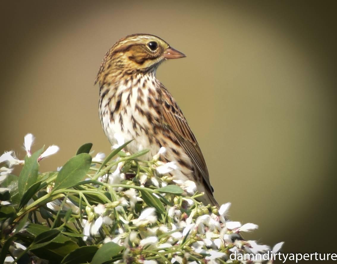 savannah-sparrow-ceragno-10-30-16