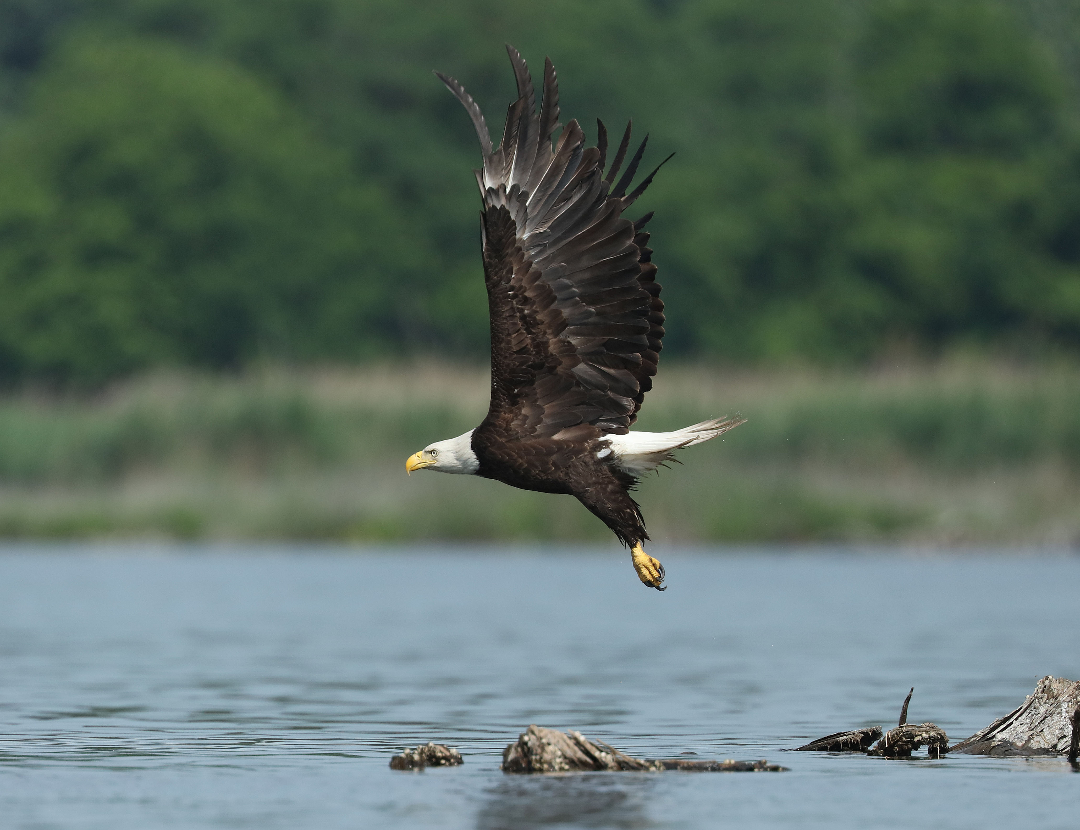 bald-eagle2-kearny-marsh-ron-shields-6-16