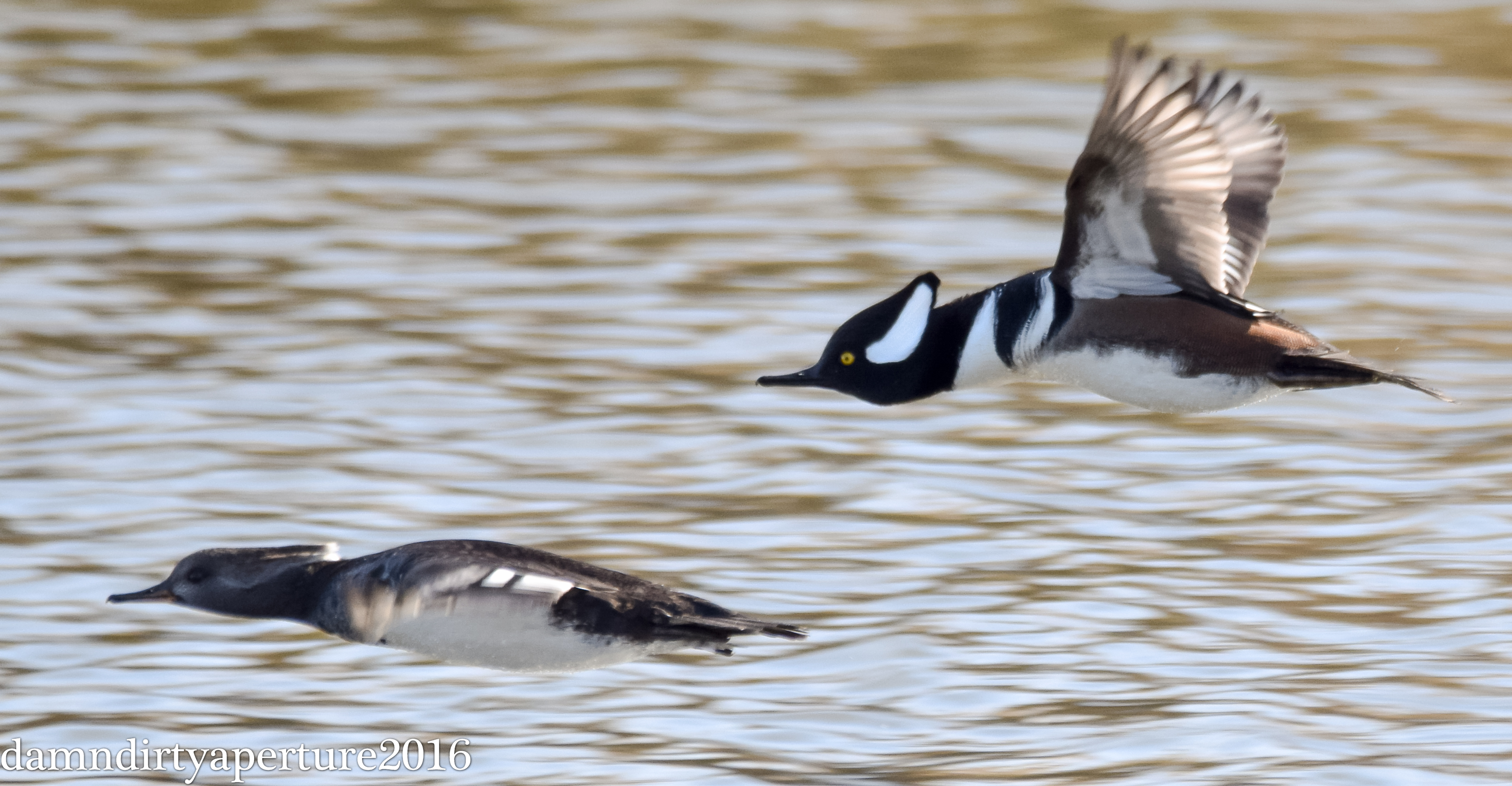 hooded-mergansers-ceragno-11-16