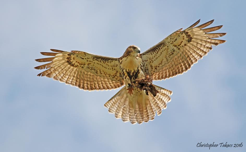 red-tailed-hawk-takacs
