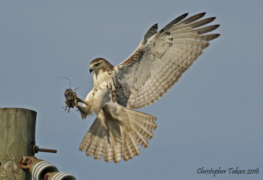 red-tailed-hawk2-takacs