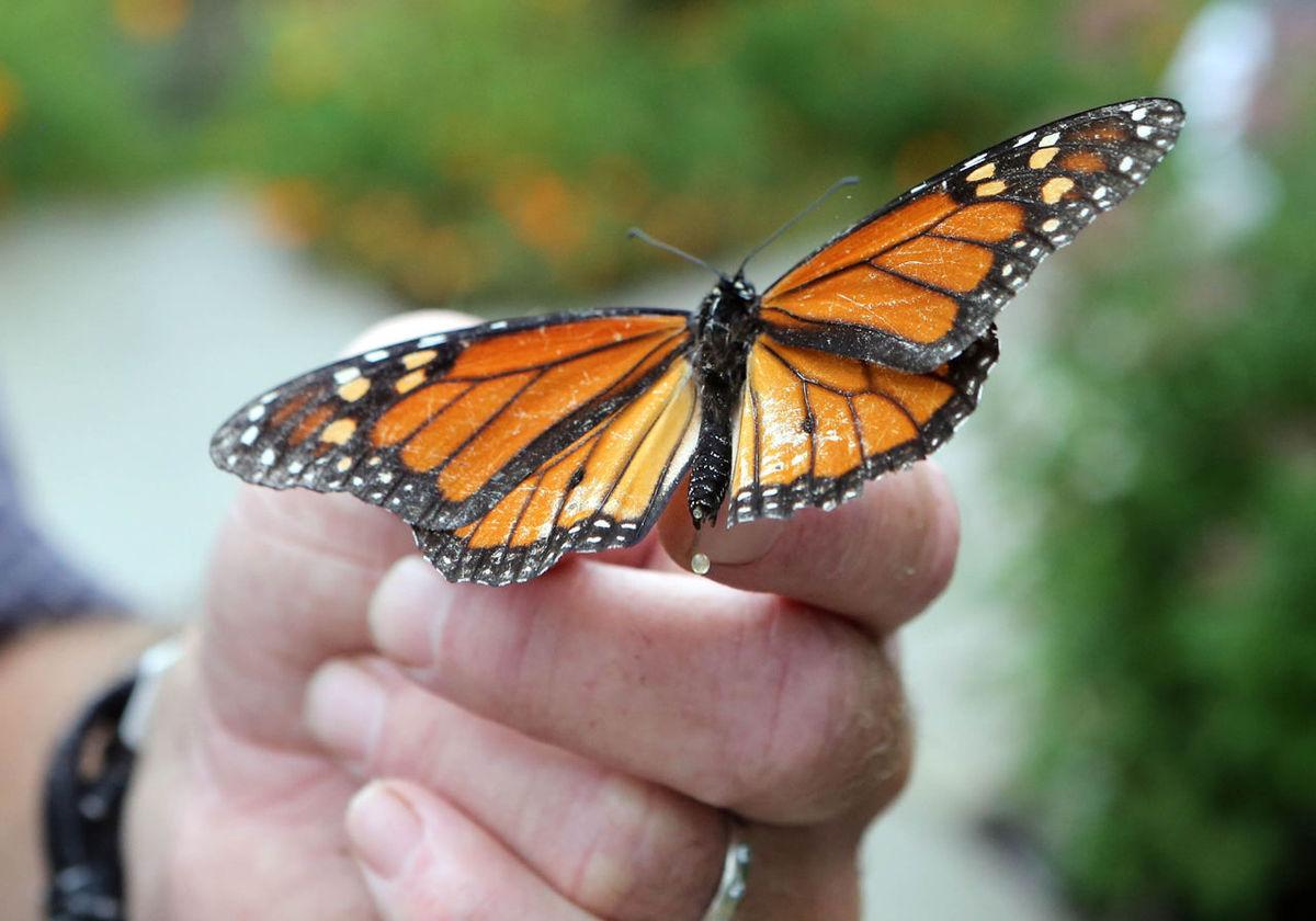 monarchs-cape-may