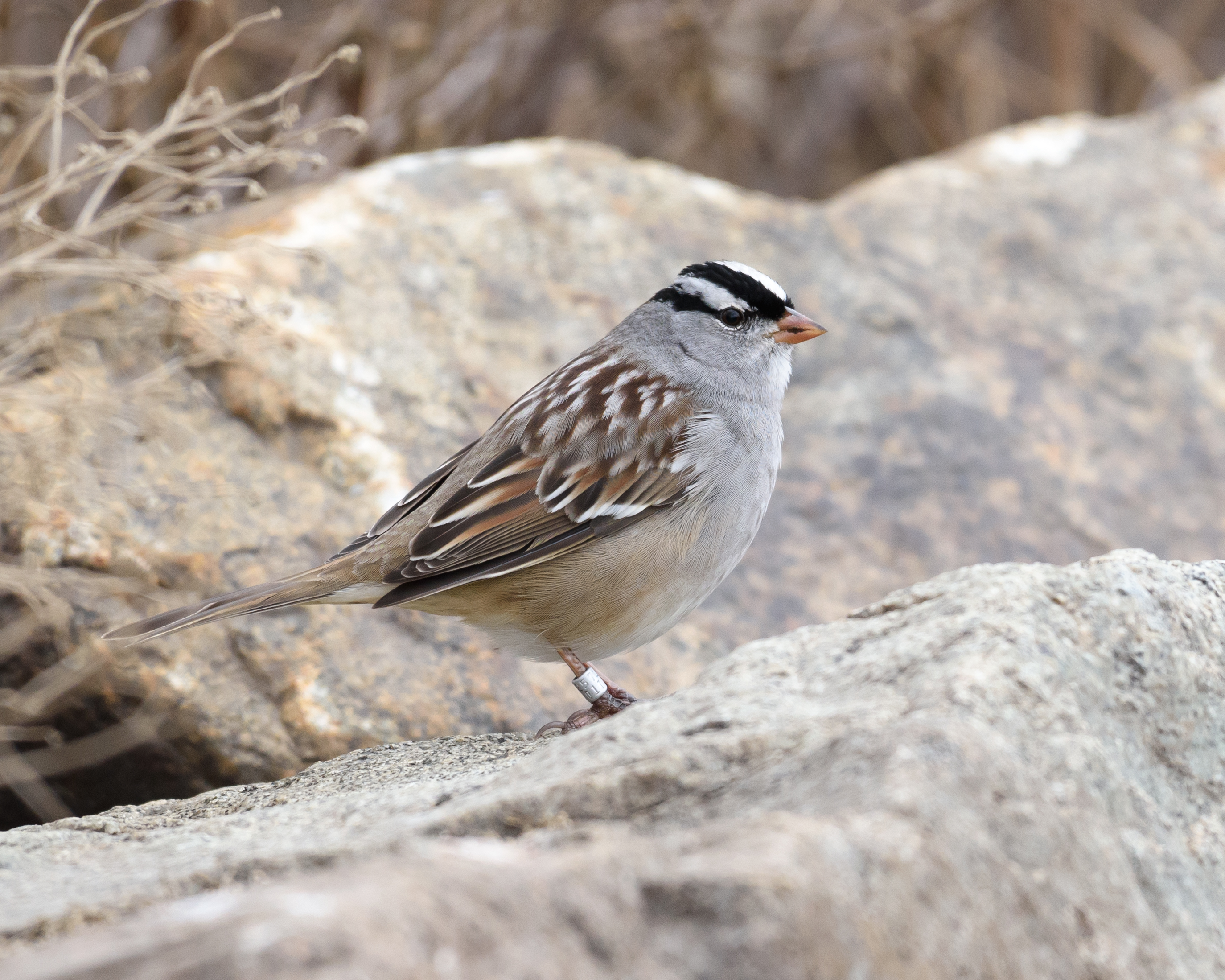 white-crowned-sparrow-banded-marchese-11-20-16