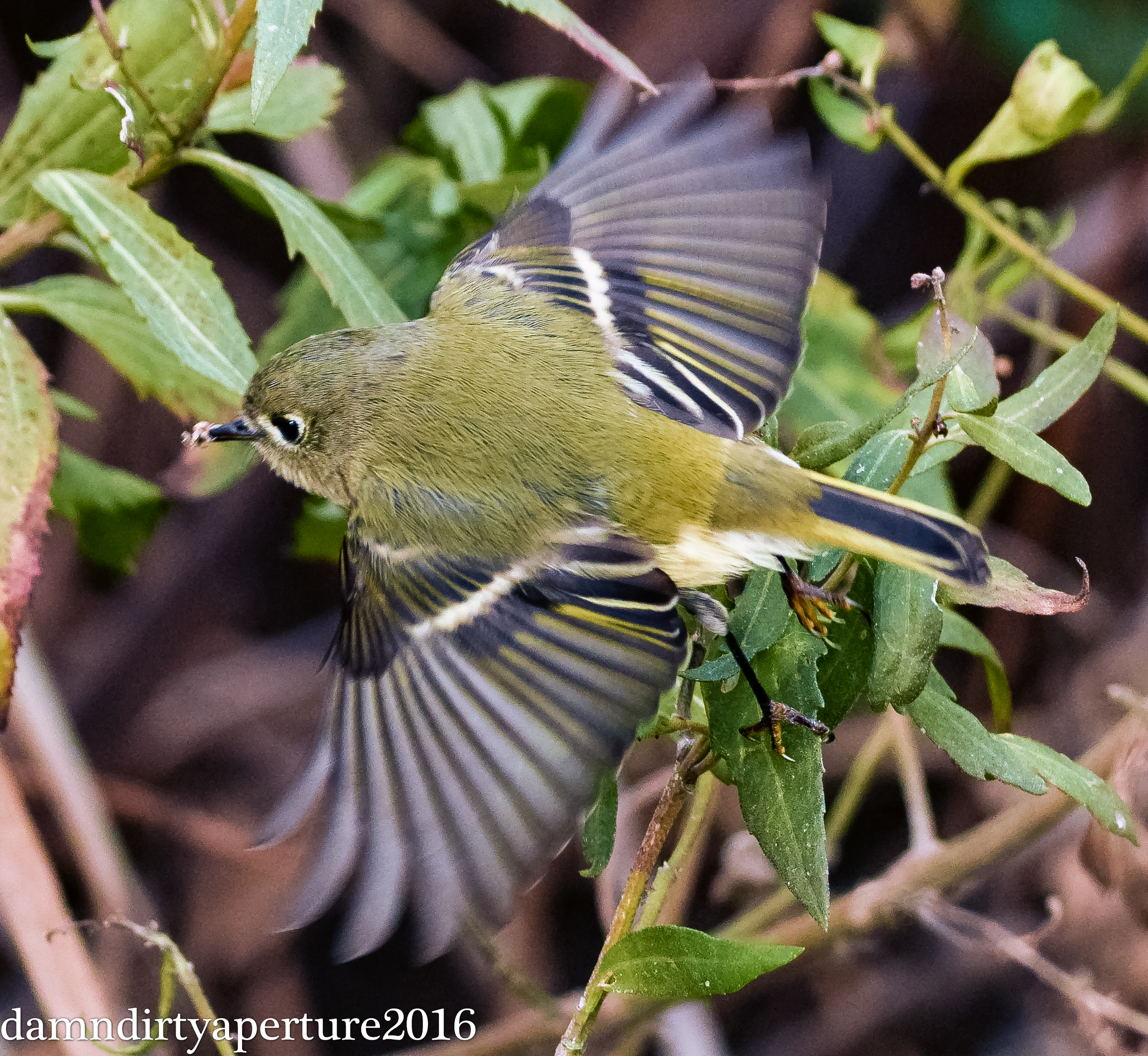 ruby-crowned-kinglet-ceragno-dekorte-12-16