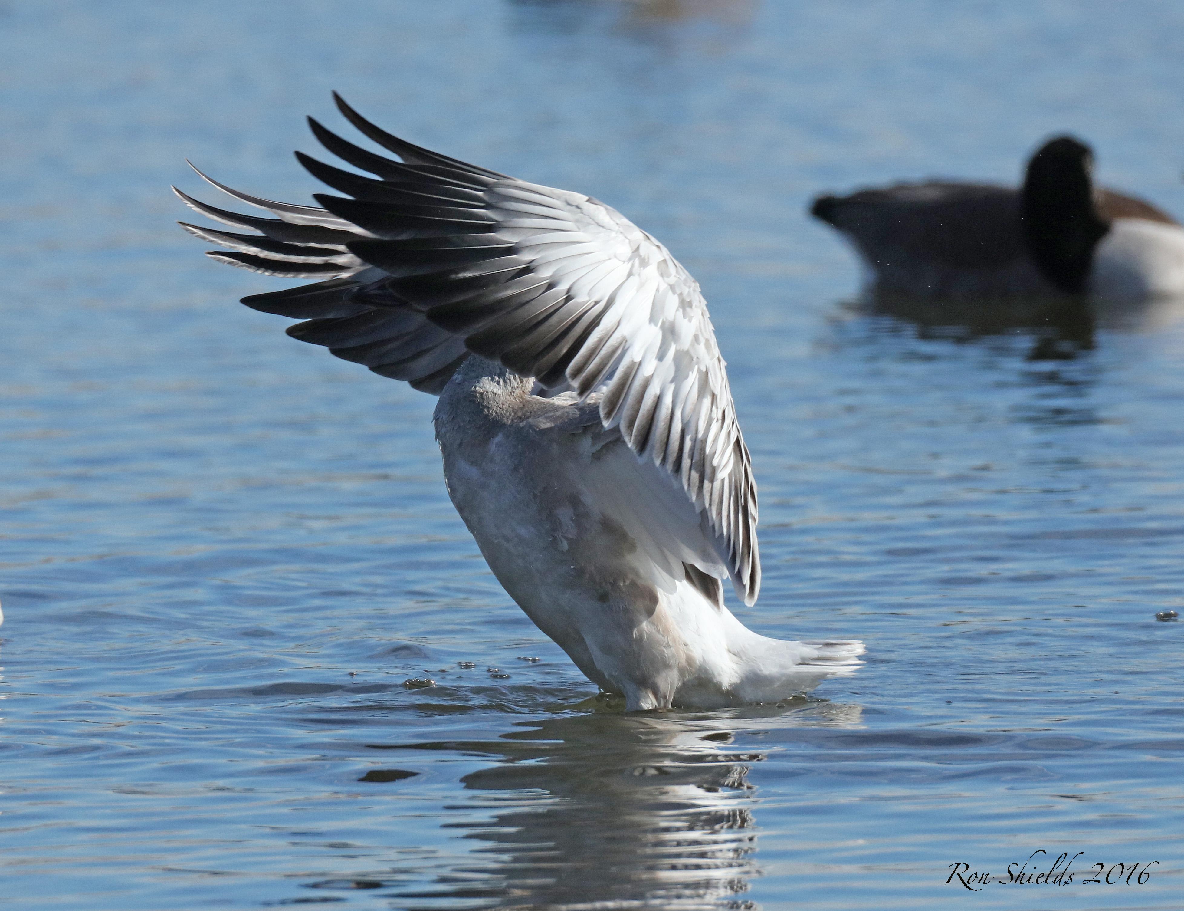 snow-geese2-12-19-16