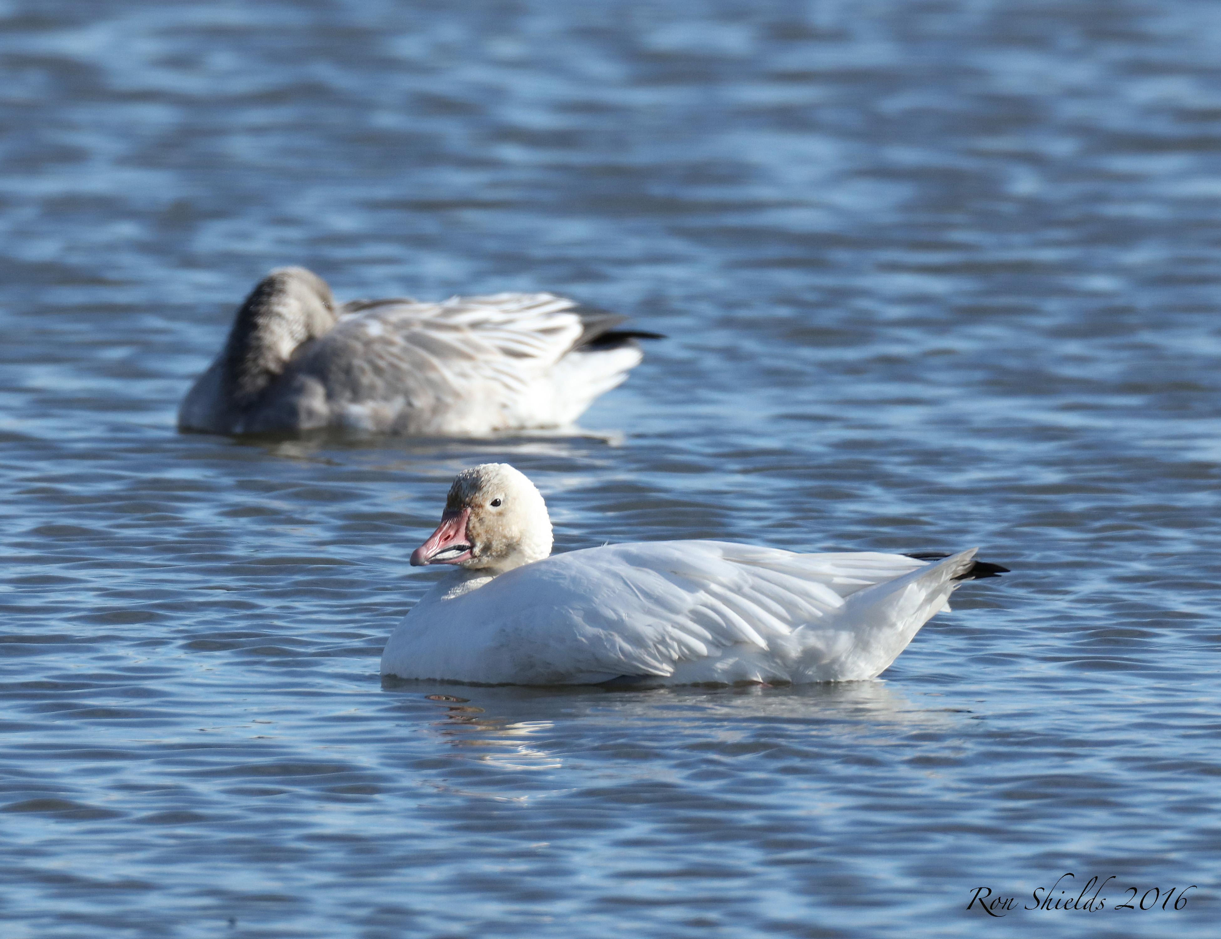 snow-geese4-12-16-19