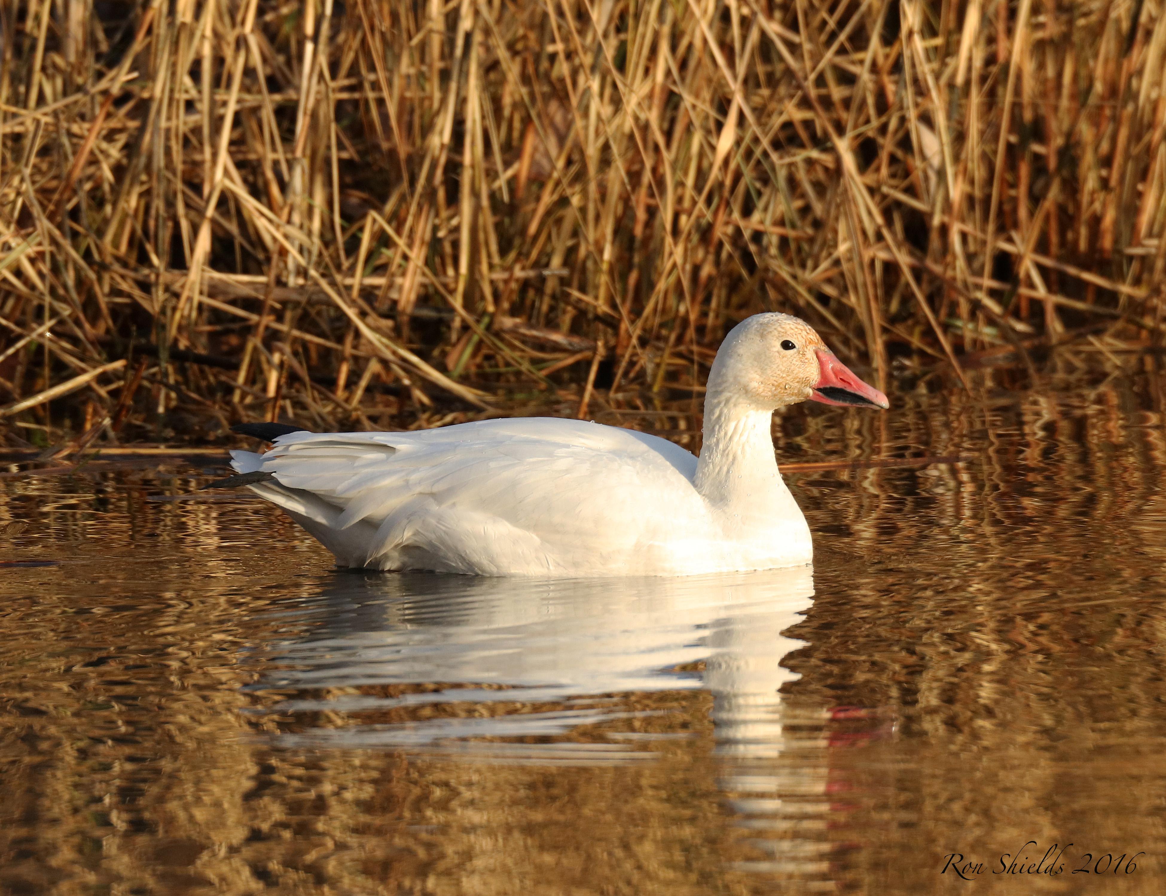 snow-geese5-12-19-16