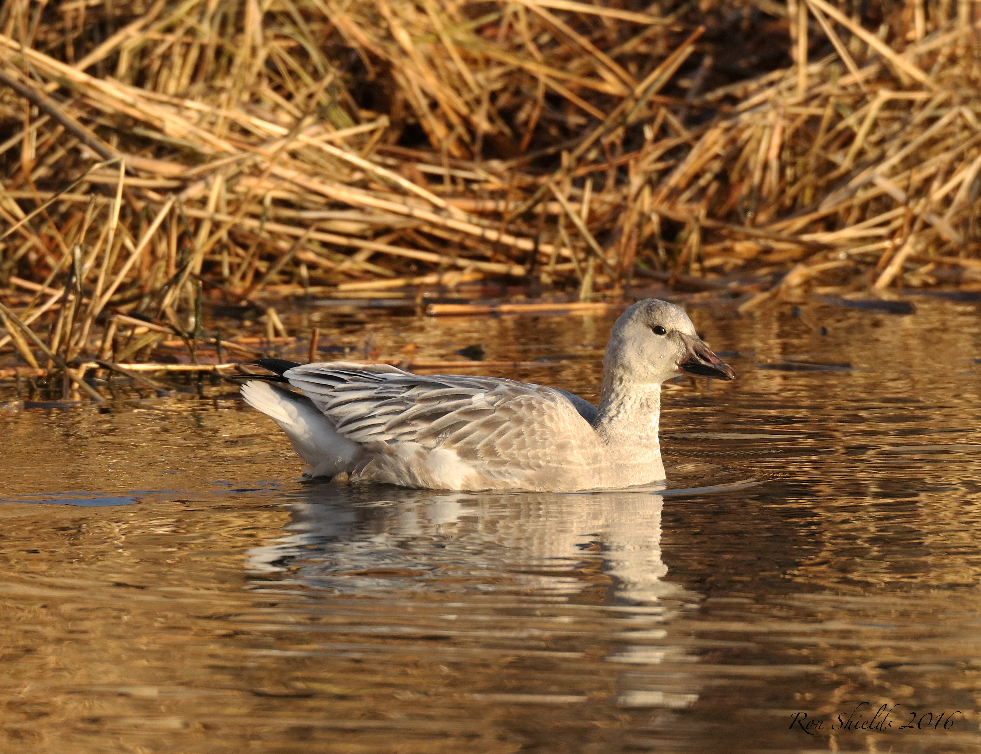 snow-geese6-12-19-16