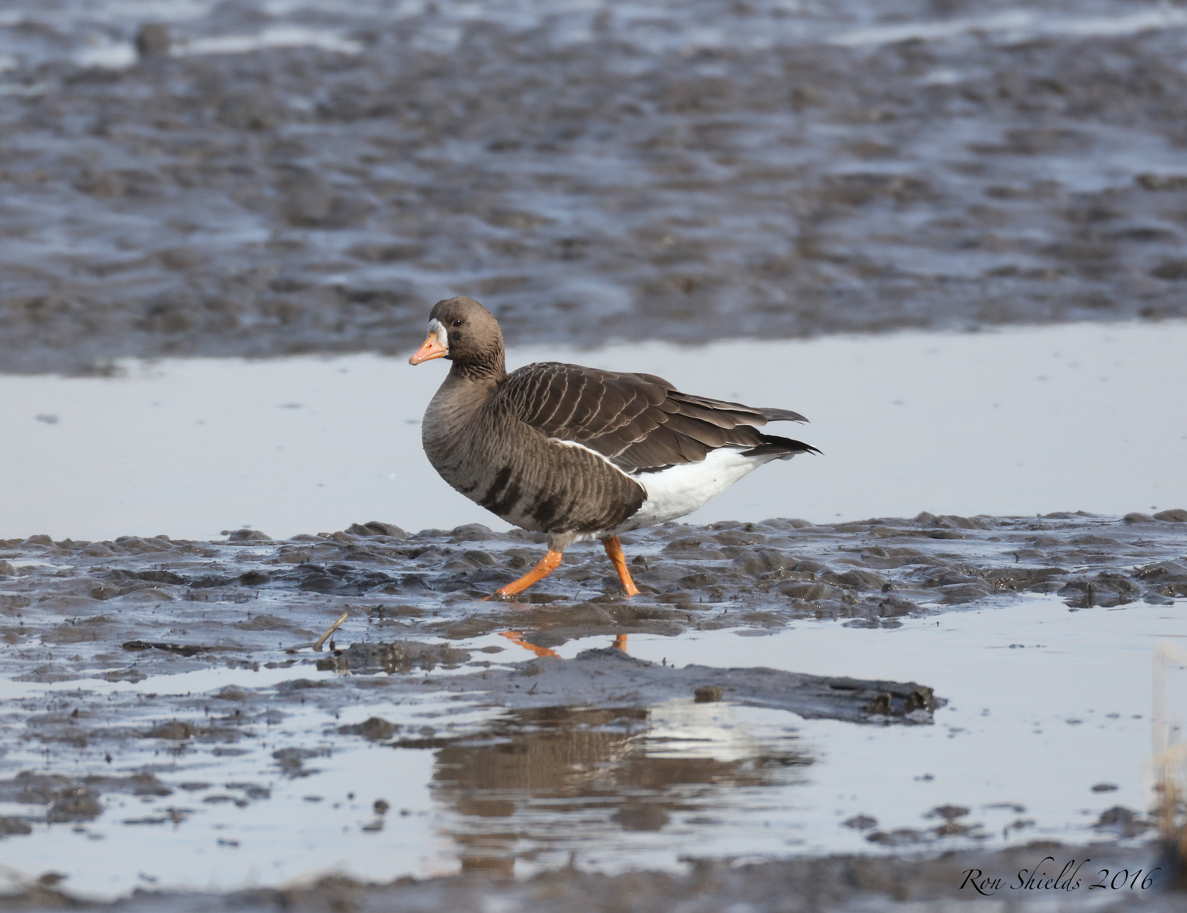 white-fronted-goose-rbp-12-21-16