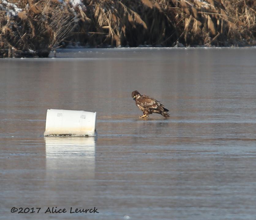 bald-eagle2-leurck-1-8-18