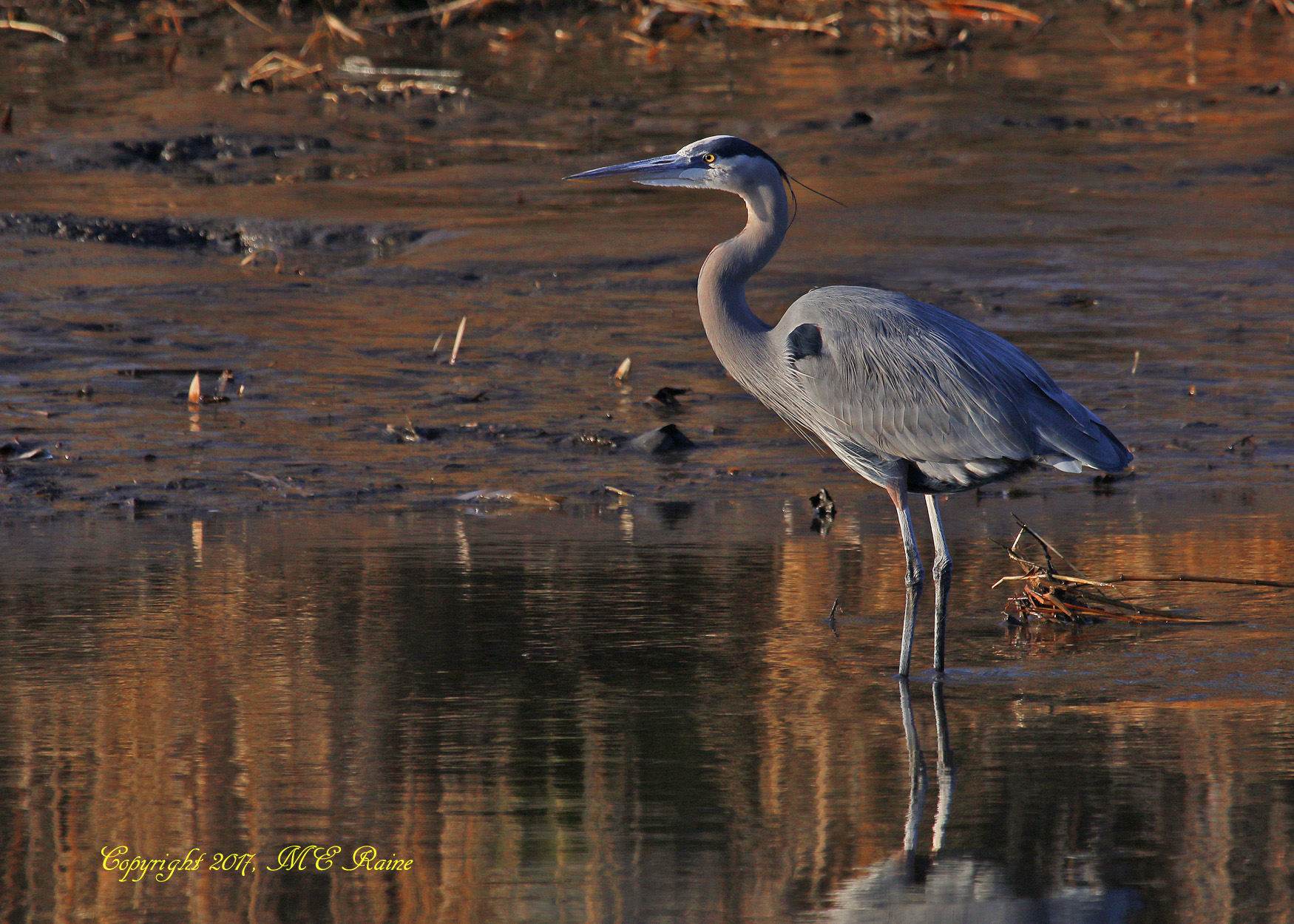 Great Blue Heron MCM Mickey 1.15.17
