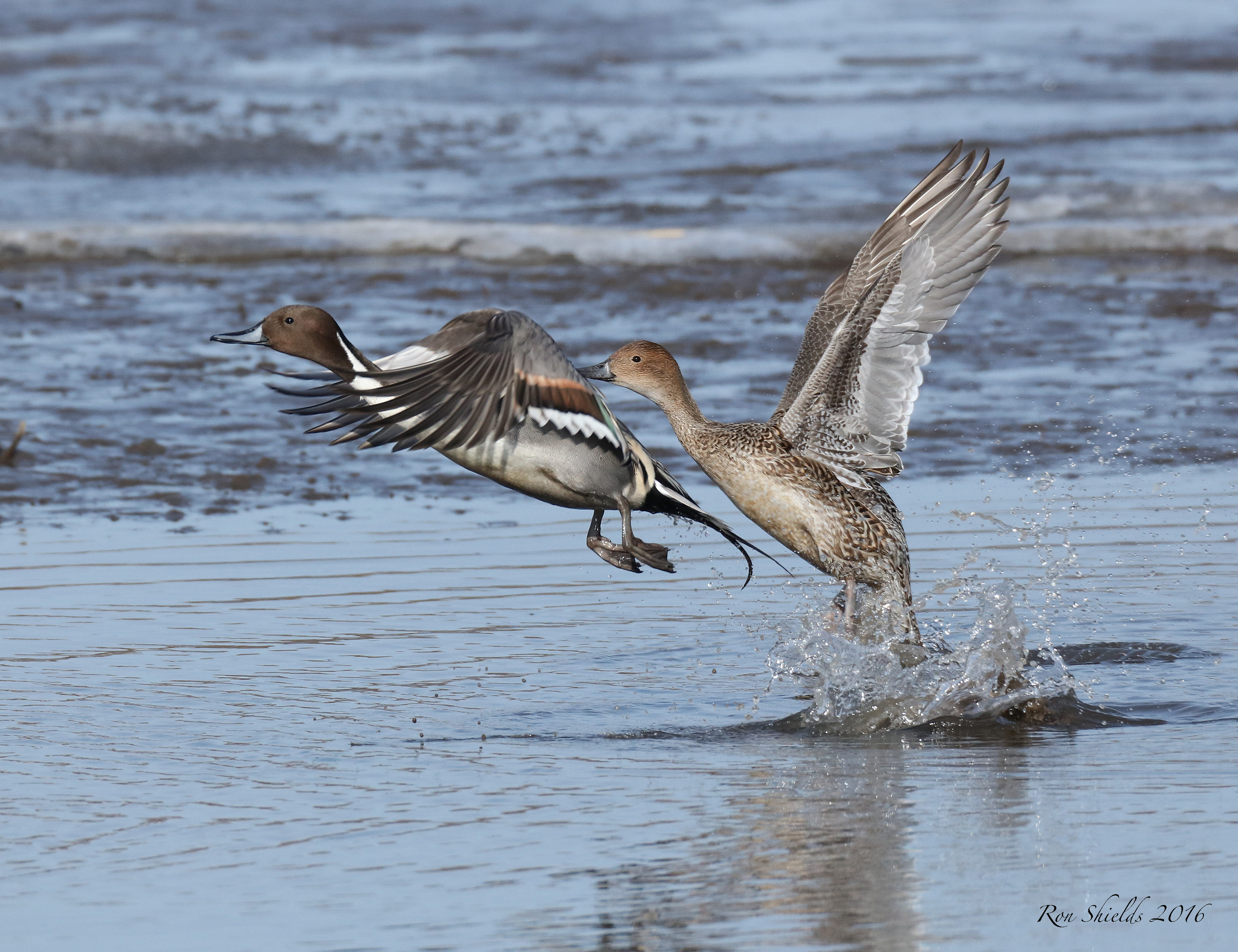 northern-pintails-shields