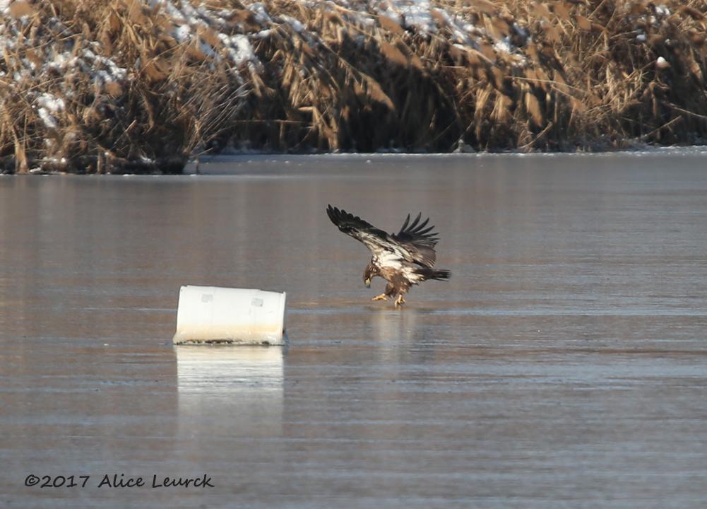 bald-eagle-leurck-1-8-18
