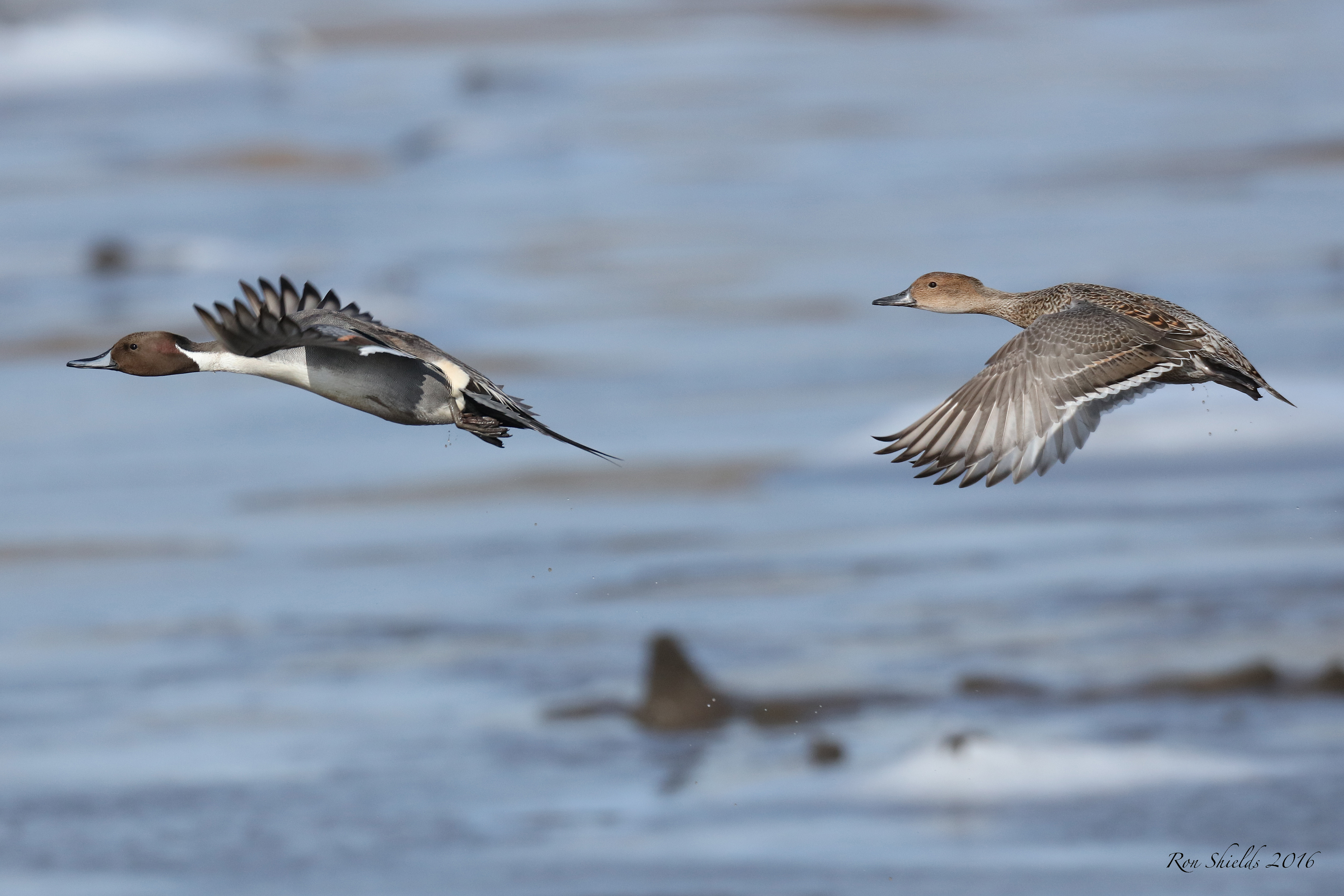 northern-pintails-shields-dekorte