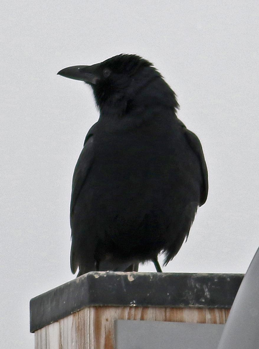 https://meadowblog.net/wp-content/uploads/2018/01/fish-crow-takacs.jpg